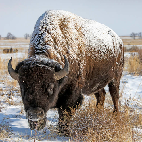 Snow-covered Bull Bison