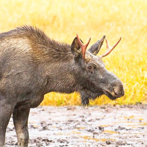Spike Bull Moose