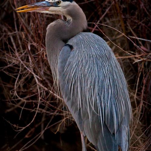 Standing Blue Heron Bosque