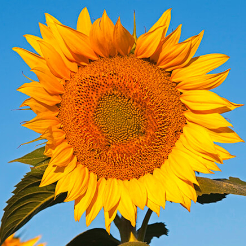 Sunflower and Morning Sky 2