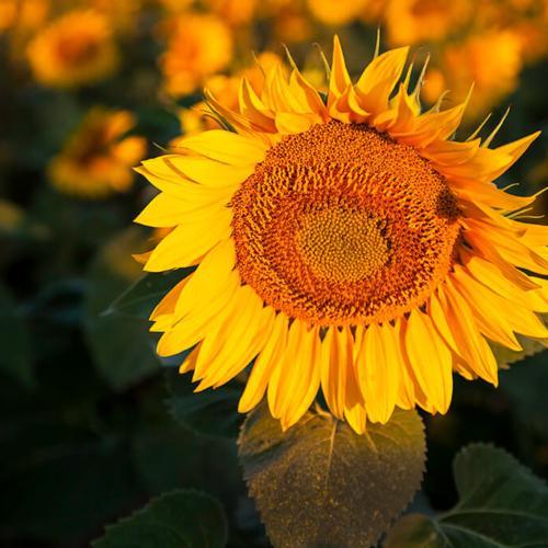 Sunflower in the Morning