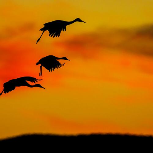 Three Sandhill Cranes Landing at Sunset