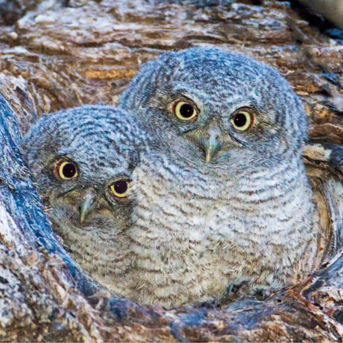 Two Eastern Screech Owl Babies