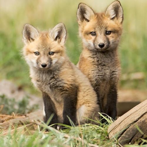Two Fox Kits