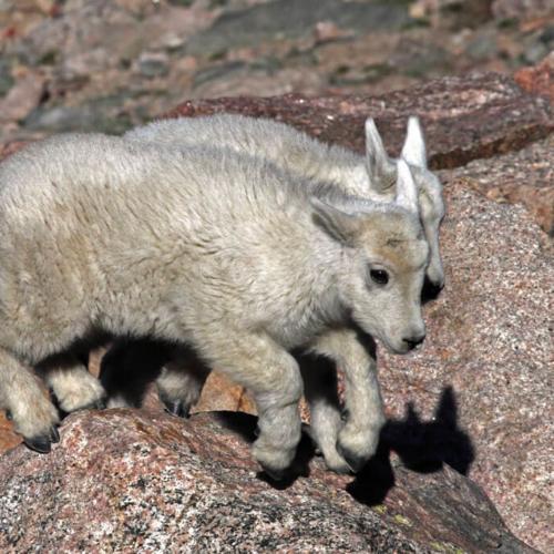 Two Mountain Goat Kids Jumping