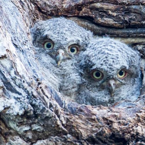 Two Screech Owl Babies