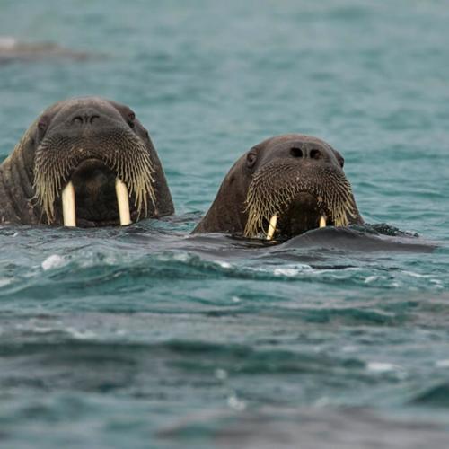 Two Walruses in Water