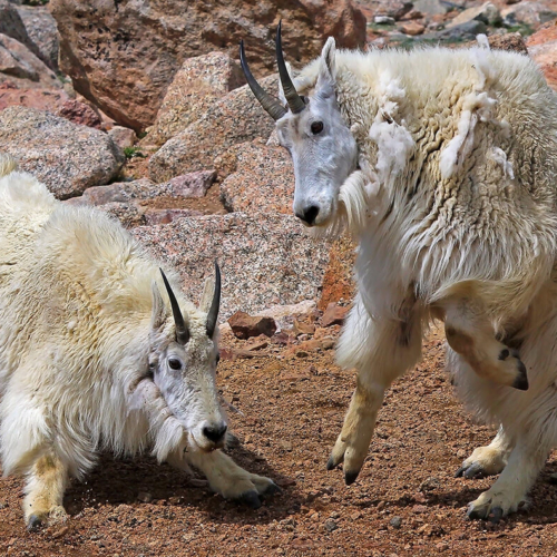 Two mountain goats sparring 7 5 2011