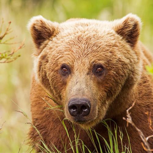 Very Large Bear Close Up 72p