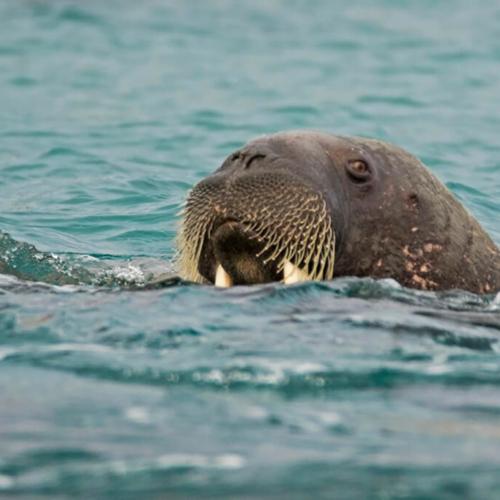 Walrus in the Water