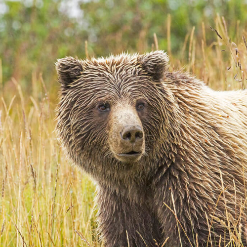 Wet Grizzly Denali