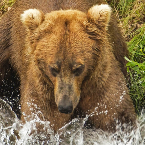 Young Bear Splashing 72p