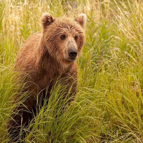 Young Bear Watching Water 72p