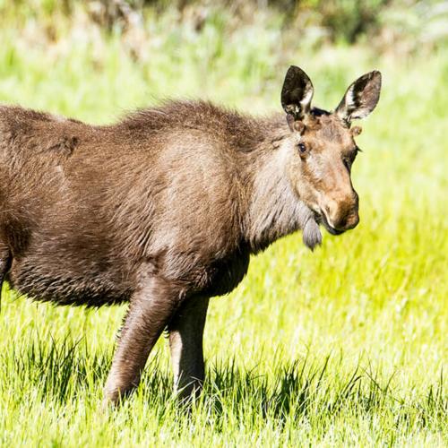 Young Bull Moose_RMNP
